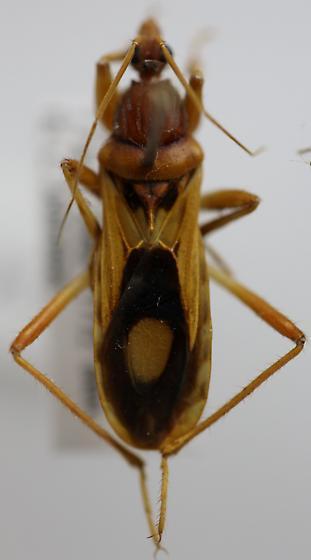 Rasahus - Rasahus thoracicus