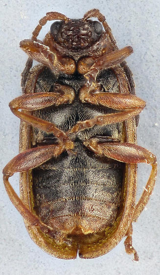leaf beetle - Neogalerucella