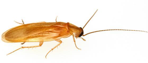 Small roach - Compsodes schwarzi