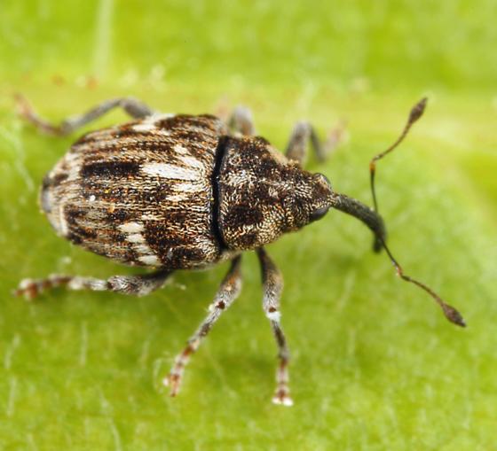 weevil - Microplontus campestris
