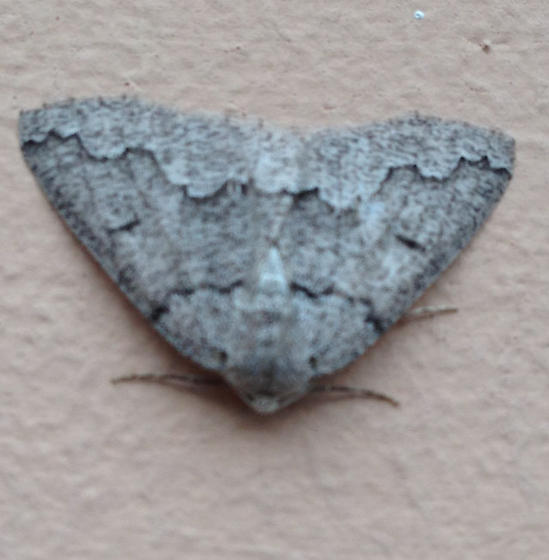 Grey moth found at work - Enypia packardata