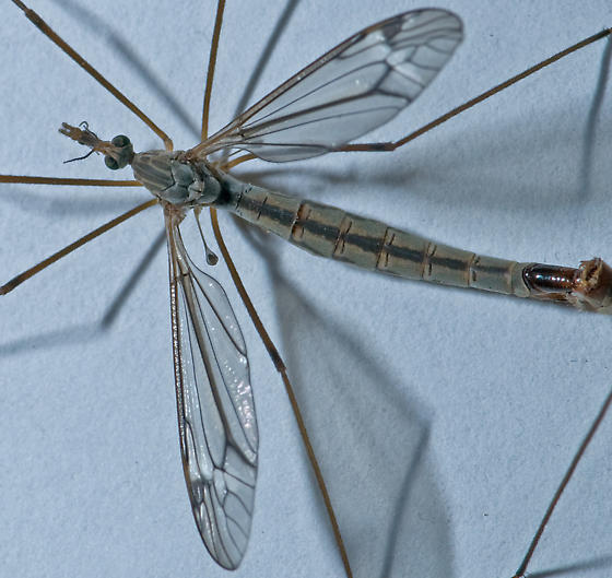 Tipula (Triplicitipula) silvestre - Tipula silvestra - male - female