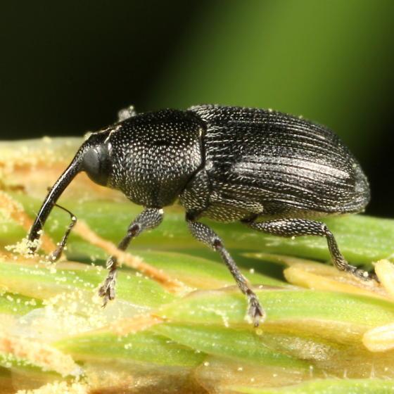Weevil on Carex gynandra - Sibariops