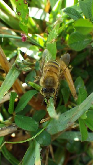 Bee in Grass - Apis mellifera