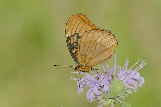 Diana Fritillary - Speyeria diana - male