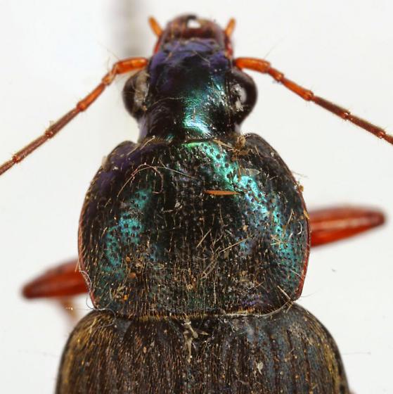 Chlaenius texanus Horn - Chlaenius texanus