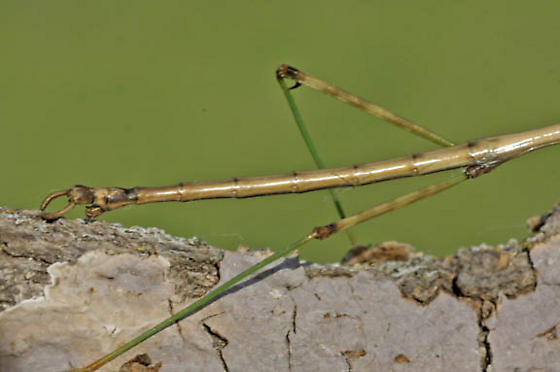 Walkingstick - Diapheromera femorata