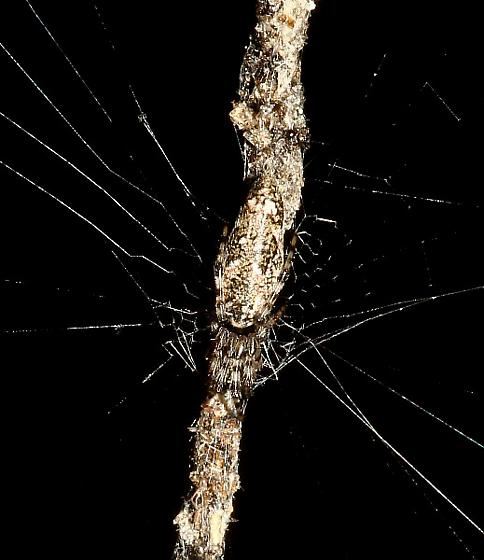 In a live oak hammock - Cyclosa caroli - female