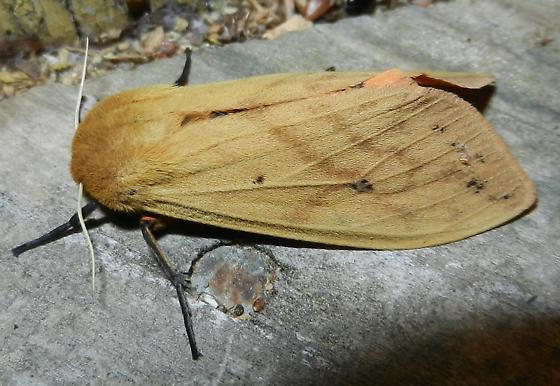 Helicoverpa zea - Pyrrharctia isabella