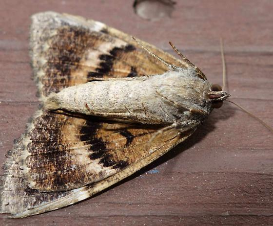 Moth - Euparthenos nubilis
