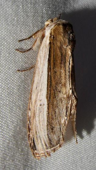 Lirimiris truncata