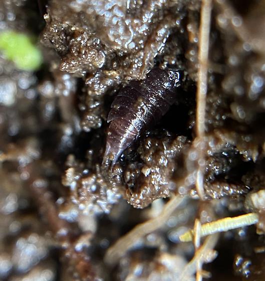 Sue and Wes Dixon Waterfowl Refuge - Isopod -  - Hyloniscus riparius