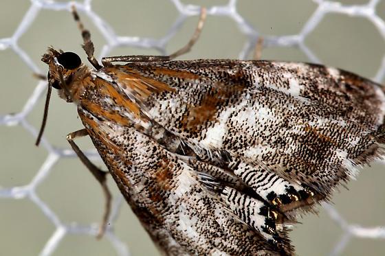 Moth with shiny spots.  Probably Dicymolomia - Dicymolomia metalliferalis