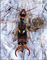 Dermaptera - Forficula auricularia - male