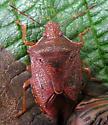 Reddish pentatomid - Podisus brevispinus