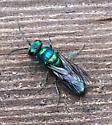 unknown Cuckoo wasp???