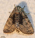 The Brother - Hodges#9193 (Raphia frater) - Raphia frater - male