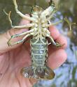 crawfish sp. - Orconectes virilis - male