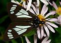 Day flying moth - Gnophaela vermiculata