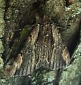 Unknown Underwing Moth (Catocala ultronia?) - Catocala ultronia