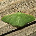 Moth - Synchlora frondaria - male