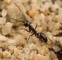Dorymyrmex sp. - Dorymyrmex insanus - female