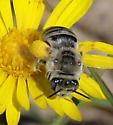 Bee - Melissodes - female