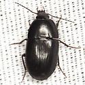 Beetle - Oodes amaroides