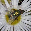 Fly ZH3Z3677 - Lucilia sericata - male