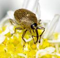 weevil - Geraeus picumnus - male