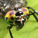 Deer Fly - Chrysops ater - female