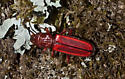 Red Beetle - Cucujus clavipes