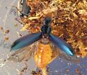 Pytho takes wing - Pytho americanus