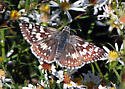 Common Checkered Skipper - Oklahoma - Pyrgus communis
