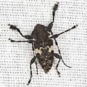 Long-horned Beetle - Acanthoderes quadrigibba