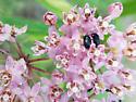 Bugs on Swamp Milkweed with Long Proboscises