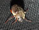 Large hairy beetle? - Phyllophaga crenulata