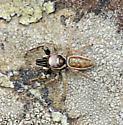 Jumping Spider - Bagheera prosper - male