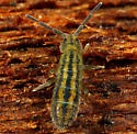 Collembola - Isotomurus palustris