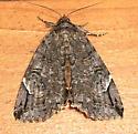 Locust Underwing - Hodges#8719 - Euparthenos nubilis