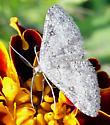 Sweetfern geometer (Cyclophora pendulinaria) - Cyclophora pendulinaria - male
