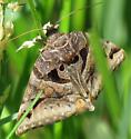 Moth - Euclidia cuspidea