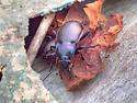 Mystery Longhorn Beetle - Carabus nemoralis