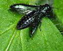 Buprestidae Beetle - Agrilus cyanescens