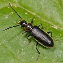 UID beetle - Pedilus lugubris - male