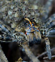 Wolf Spider - Tigrosa georgicola - female