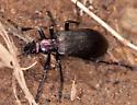 Beetle - Ditylus gracilis