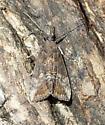 Green Cloverworm - Hypena scabra