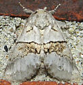 Gluphisia septentrionis