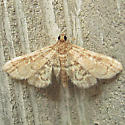 Little moth on wall - Anageshna primordialis